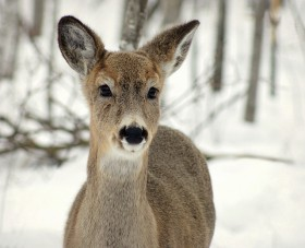 doe-deer-female-wild-animal-smiling-beautiful-snow-winter