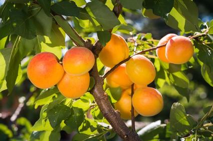 Meruňky pěstování