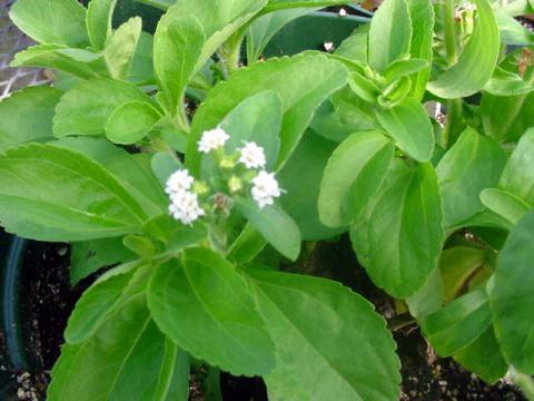 Stévie rostlina