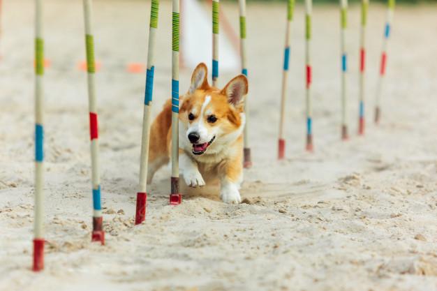 Jak začít s agility a pro jakého psa je vhodné? Vyzkoušejte psí sporty