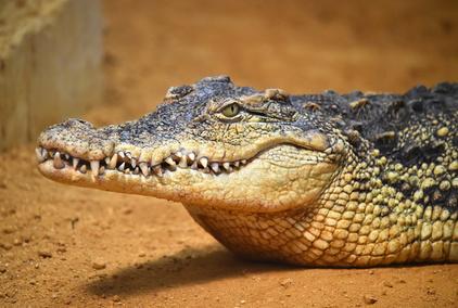 I exotická zvířata z Afriky mohou být vašimi mazlíčky. Pořiďte si domů  tygra nebo krokodýla f87b32f939