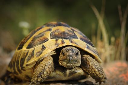 Suchozemská želva vám může dělat společníka až 50 let. Chovat ji dokáže i  naprostý začátečník 6af51fa1bb