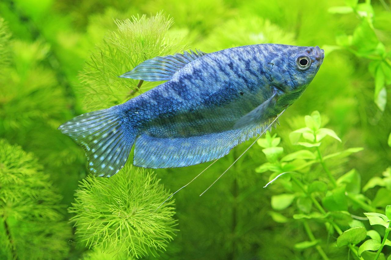 711fb3ea0c62 Nemoci akvarijních ryb  parazité