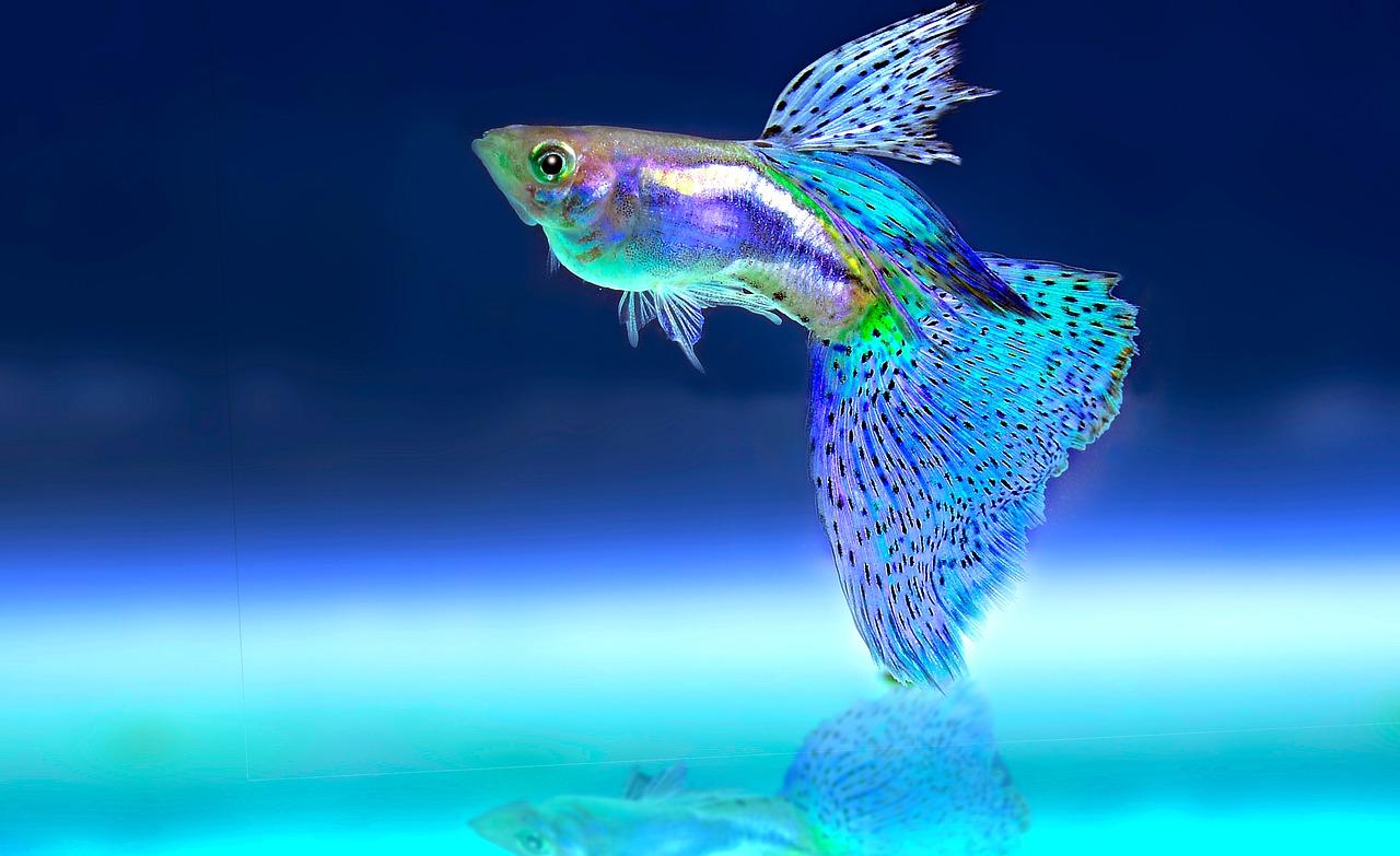 b756fab6cd7c Infekční vodnatelnost patří mezi časté nemoci akvarijních ryb. Příznakem je  nafouklé břicho a vypouklé oči