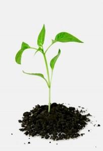Pěstování stévie