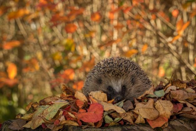 Když se do hrabání listí letos nepustíte, budou z toho mít radost ježci.