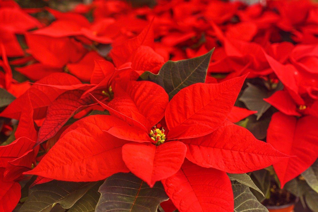 Vánoční hvězda je ozdobou každé domácnosti