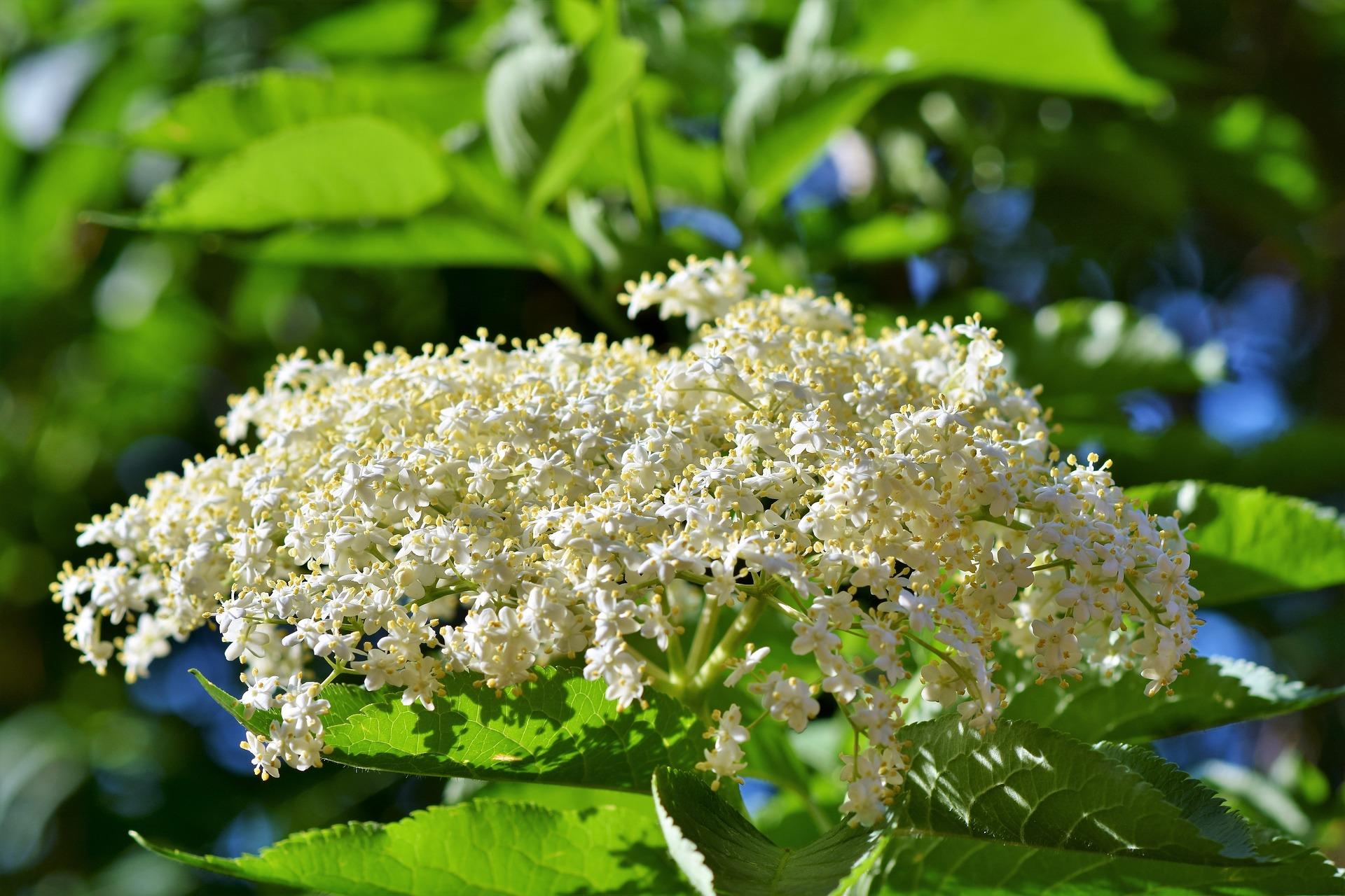Z květů černého bezu můžete taktéž v květnu a červnu připravit slané chuťovky anebo třeba zdravé řízky na oběd. Když je obalíte v těstíčku, náramně si pochutnáte!
