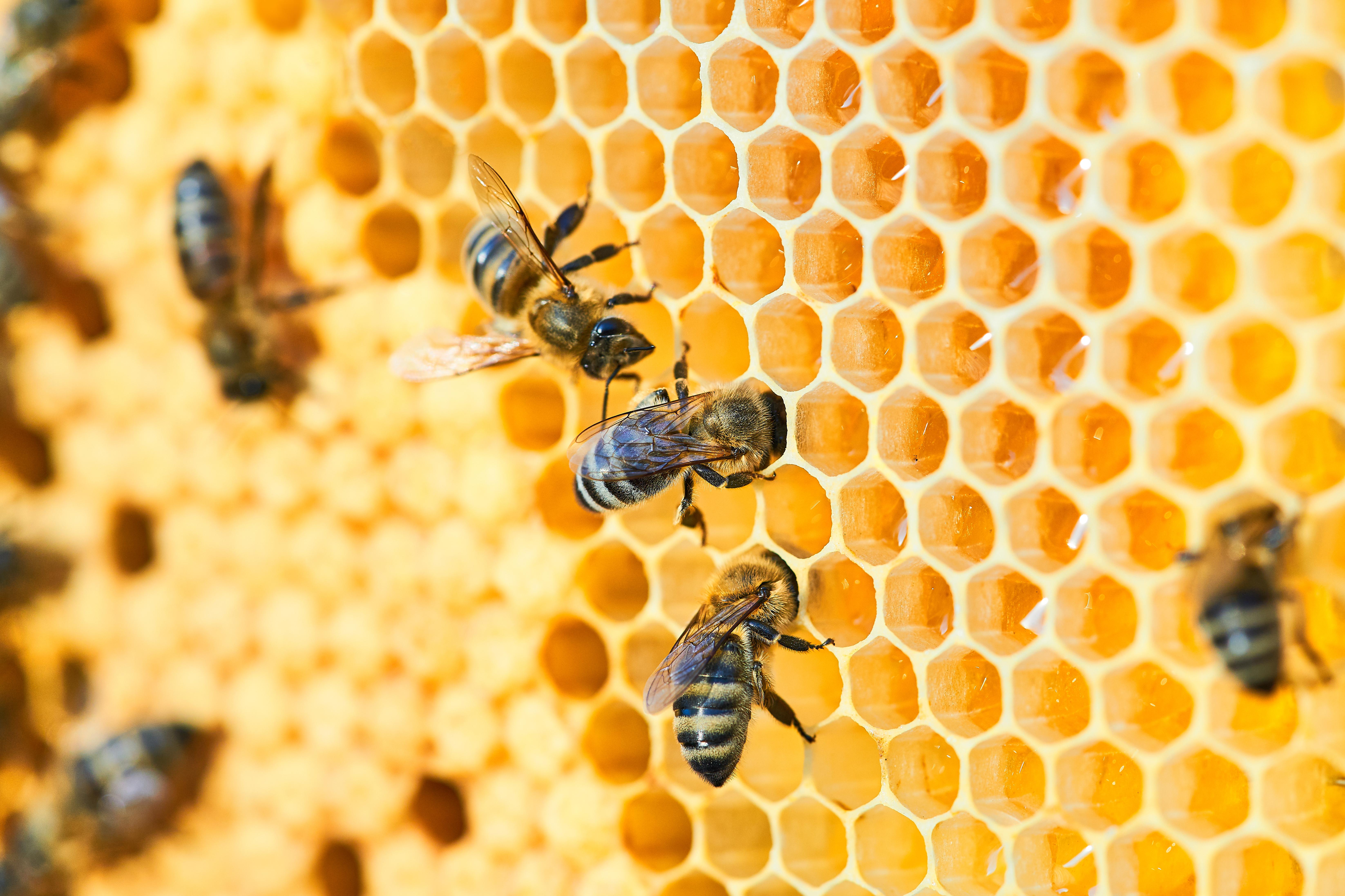 Věděli jste, že jedna včela vyprodukuje za celý svůj život jen 9 gramů medu?