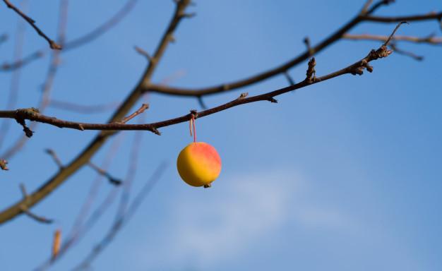 Ovocné stromy je potřeba před zimou očesat od zbylých plodů.