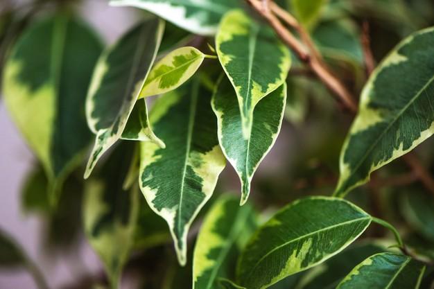 Mezi mírně jedovaté pokojové rostliny pro kočky a psy patří i fíkus benjamina.