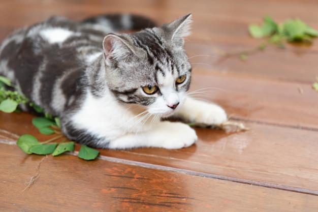 Šantu kočičí milují kočky nadevše. Velmi je láká svou vůní.