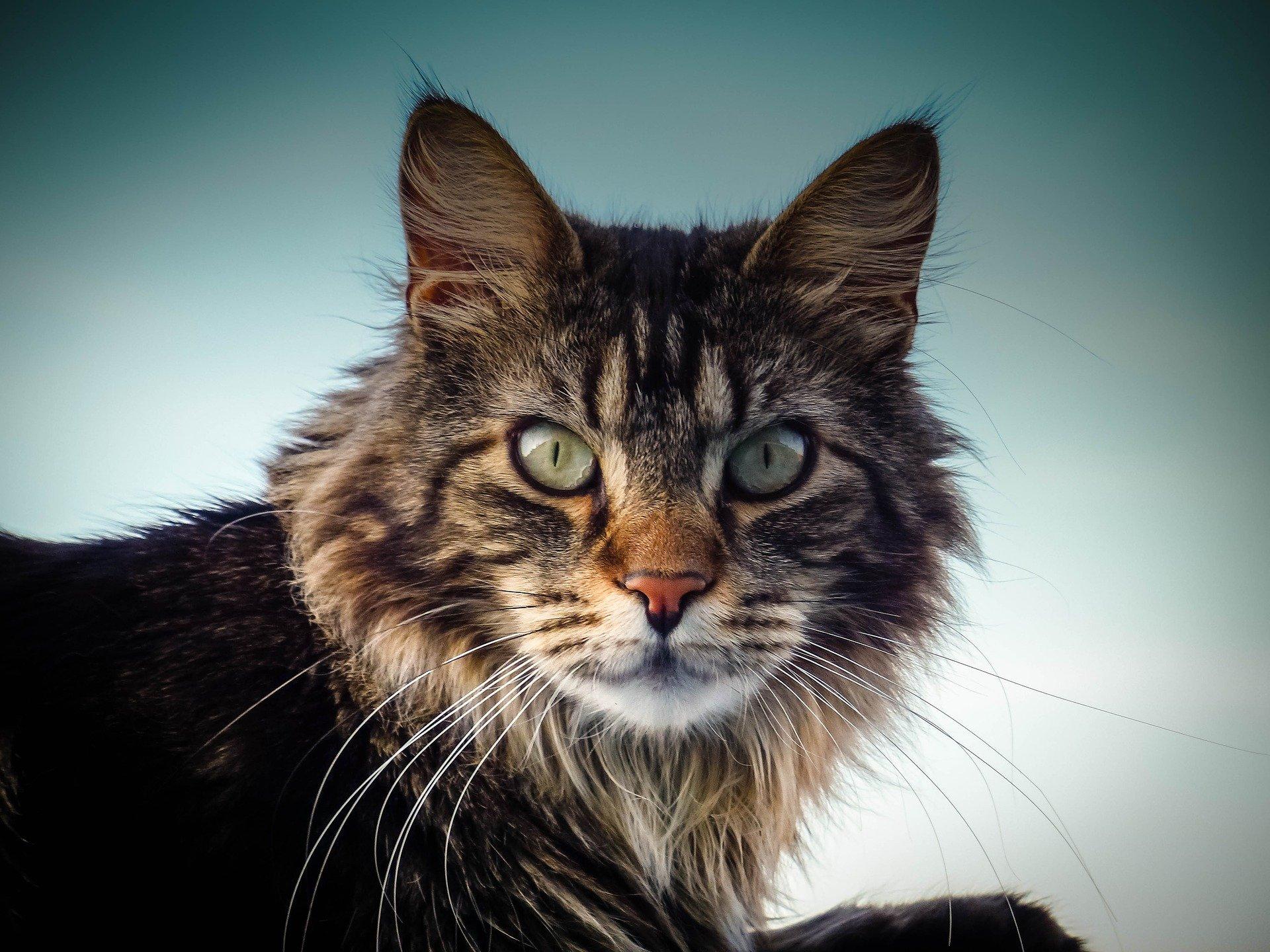 Mainská mývalí kočka pochází z USA. Její vzhled je velmi vznešený.