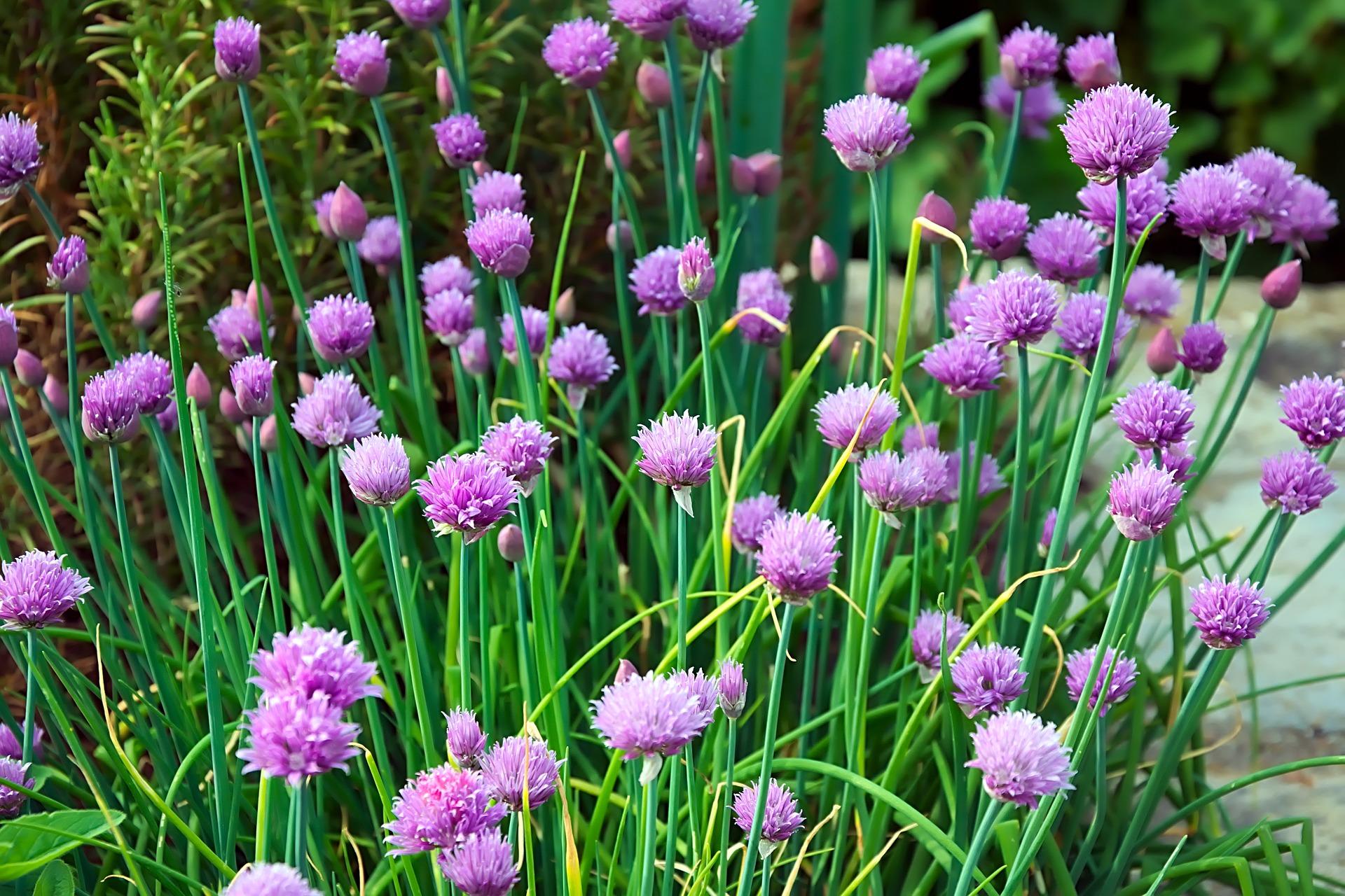 Pažitka pobřežní má purpurové květy. Někdy se jimi zdobí i zeleninové saláty.